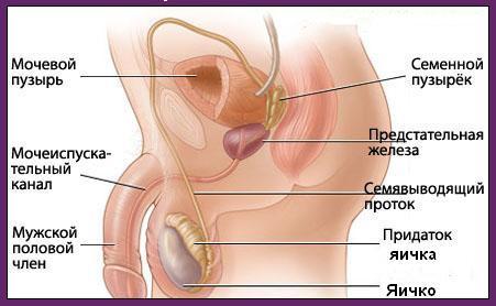 Наружные половые органы включают в себя пенис, мошонку и яички